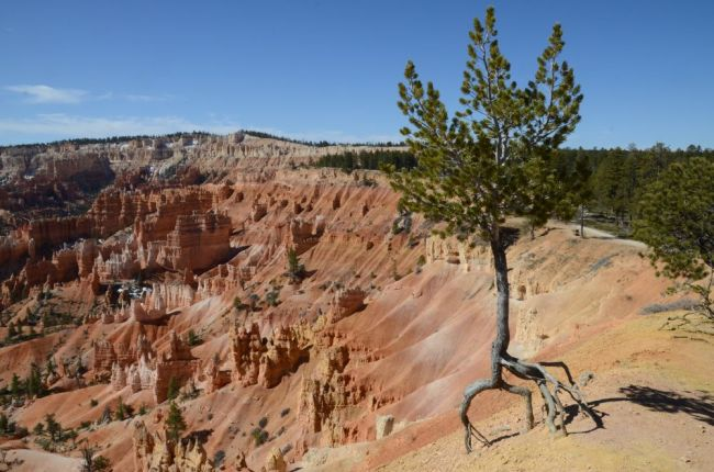 tree at Bryce Canyon