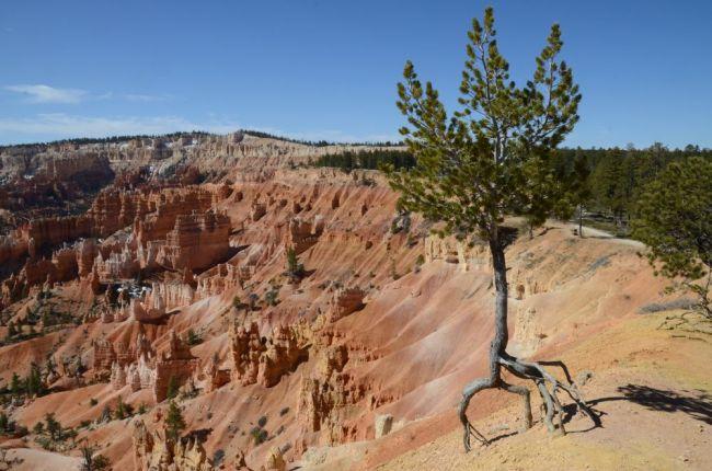 tree at Bryce Canyon