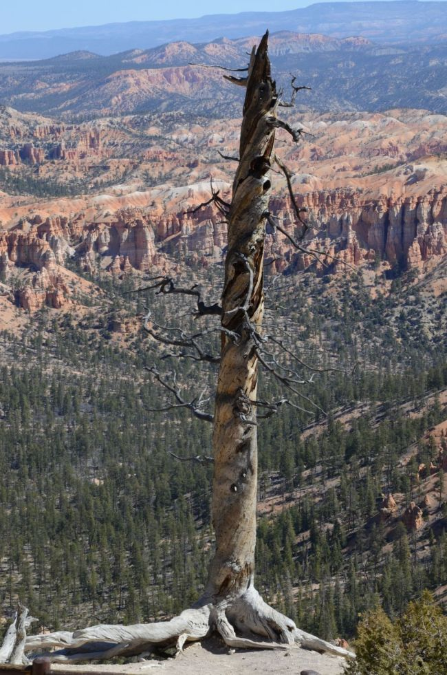 twisted tree at Bryce Canyon
