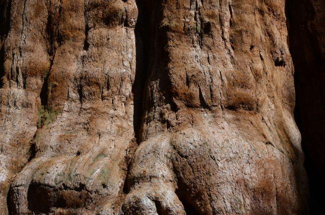 Sequoia tree bark