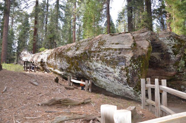 fallen sequoia