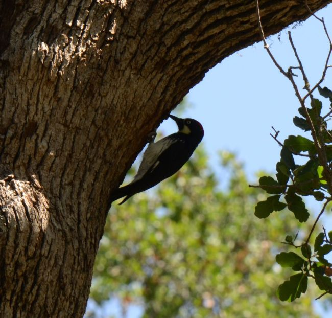 woodpecker at Potwisha camp ground Sequoia National Park