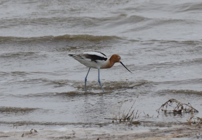 American Avocet, Antelope Island, Great Salt Lake