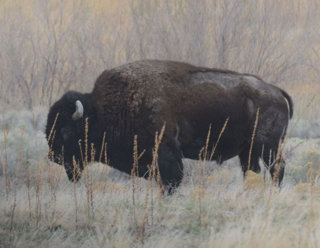 Bison Antelope Island, Great Salt Lake