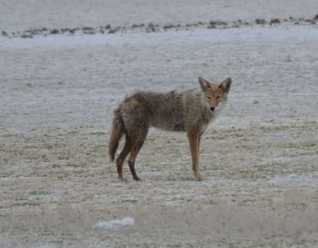 Coyote Antelope Island, Great Salt Lake