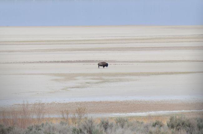 Bison Antelope Island, Great Salt Lake