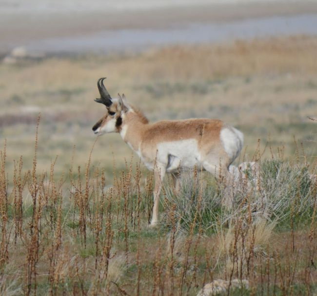 Pronghorn Antelope Island, Great Salt Lake