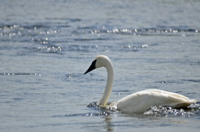 Trumpeter swan at Yellowstone