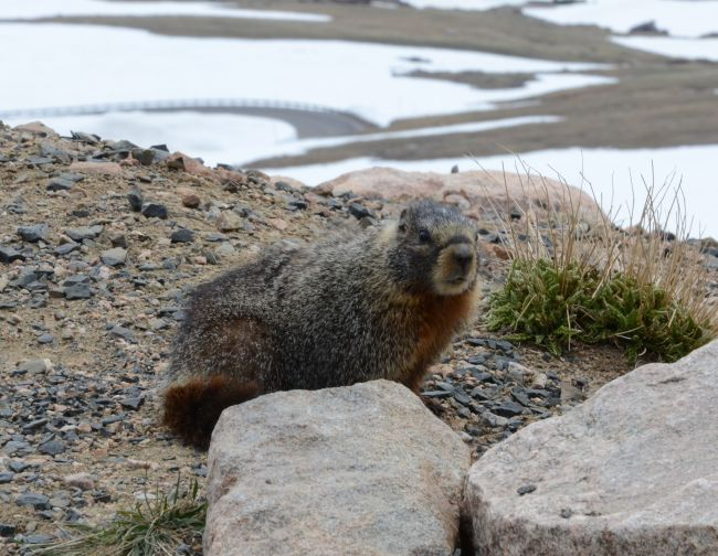 Yellow-bellied marmot at Yellowstone