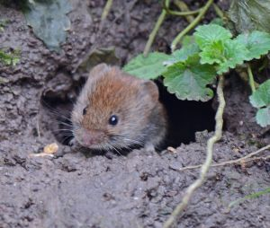 It was hard to get this bank vole in focus as he moved so quick, the light was low and I couldn't use the tripod where we were standing