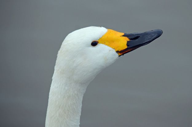 A Bewick Swan at Slimbridge. The bill markings on Bewick's are all individual so birds are identifiable as individuals!