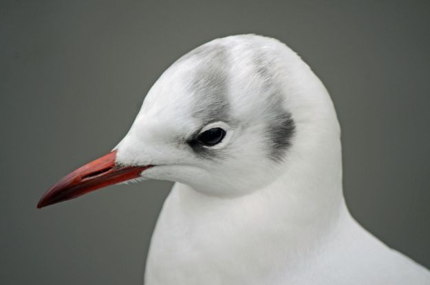 A black headed gull (their heads aren't black in winter though!)