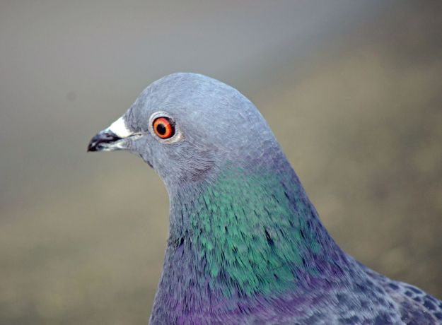 Pigeons are pretty up close