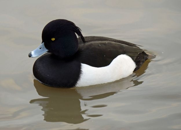 "I asked Alf if he could guess why a tufted duck was called a tufted duck... ""Because they are really tough?"" he asked!"