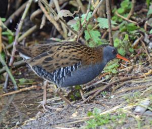 This water rail was cool to see but again I couldn't get a shot in focus as it was too crowded to use the tripod needed for the low light.